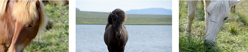 horseback riding Icelandic horse Iceland © www.resorochaventyr.se All rights reserved.
