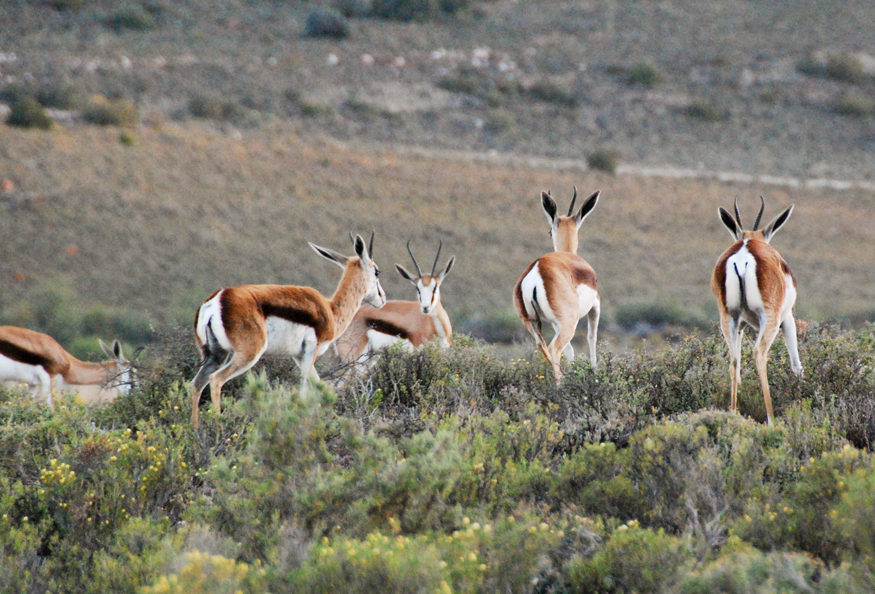 Sanbona Sydafrika Safari