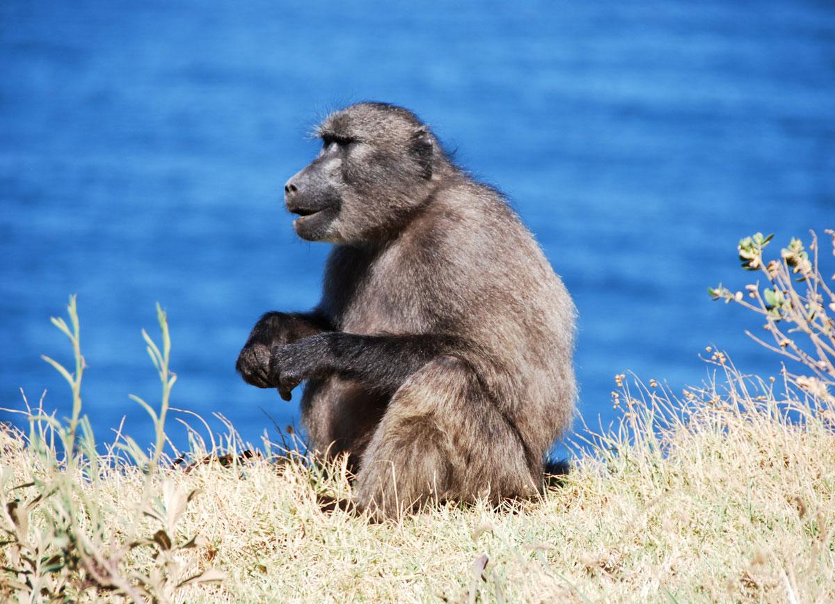 Sydafrika, babianer