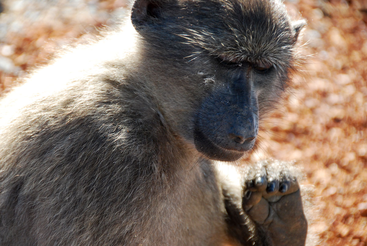 baboon South Africa  Cape of Good Hope   © resorochaventyr.se