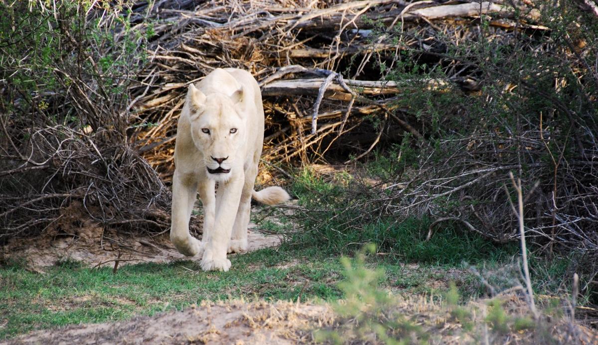 Sydafrika, safari, Sanbona