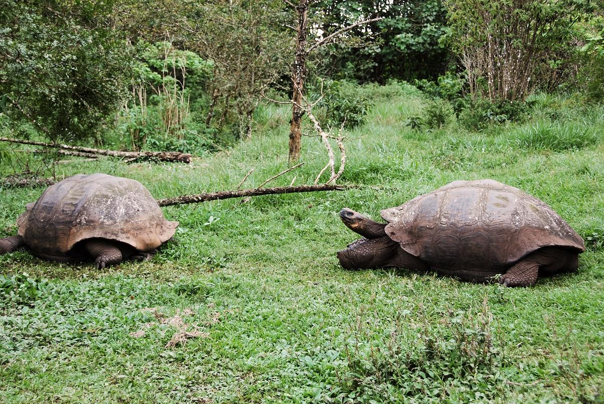 Galapagos, Isla Santa Cruz Galapagosöarna djur resor jättesköldpadad © 2017 Resor och äventyr