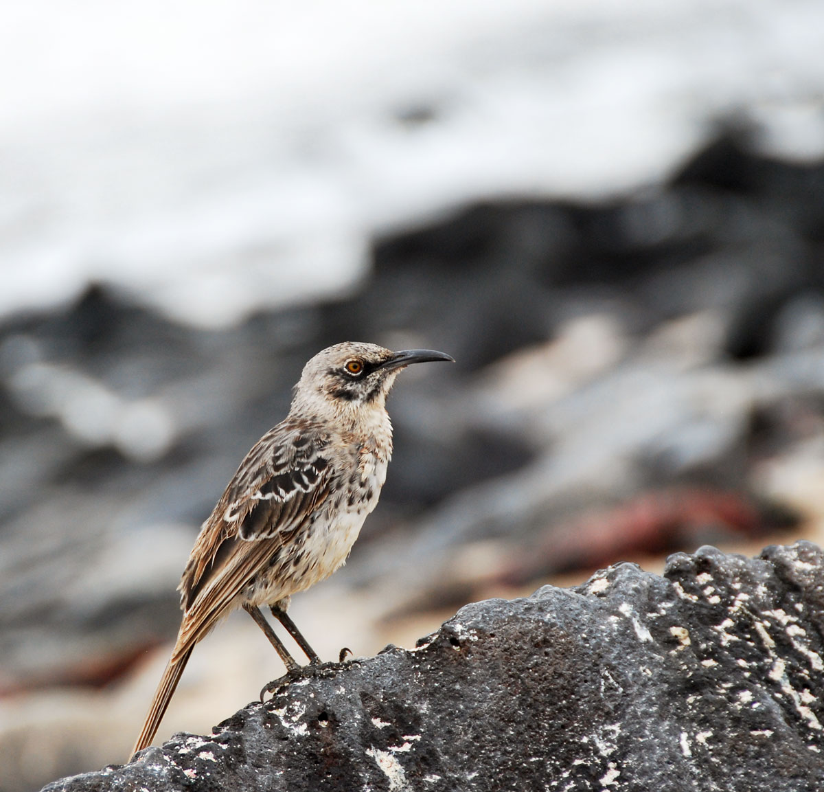 Galapagos, Espanola Galapagosöarna djur resor fågel © 2017 Resor och äventyr