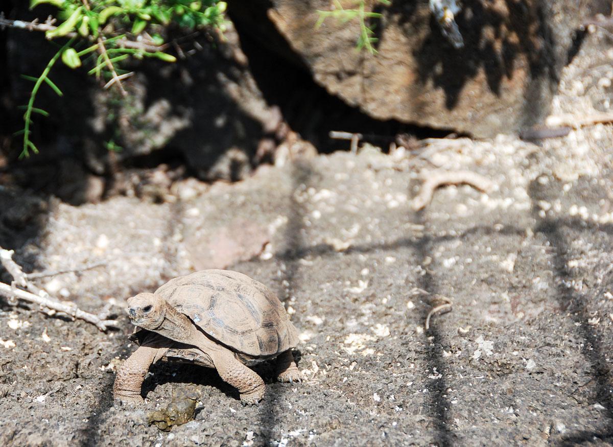 Galapagos, Isla Santa Cruz Galapagosöarna djur resor jättesköldpadda © 2017 Resor och äventyr