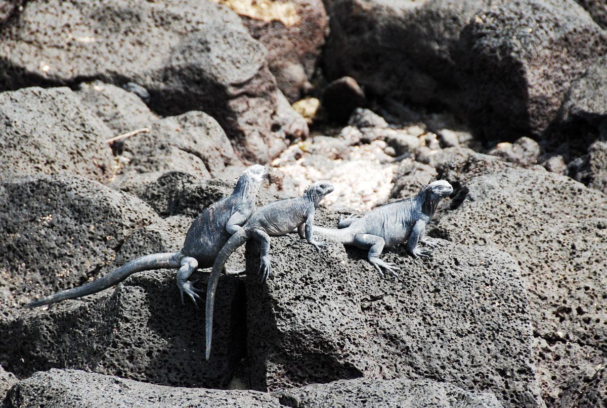 Galapagos, Isla Santa Cruz Galapagosöarna djur resor © 2017 Resor och äventyr