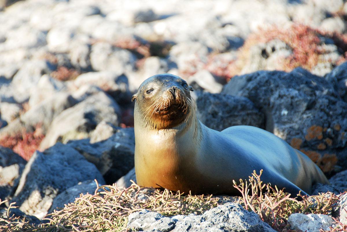 Galapagos, South Plaza Island, Galapagosöarna djur resor © 2017 Resor och äventyr