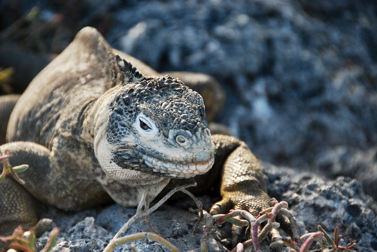 Galapagos, South Plaza Island, Galapagosöarna djur resor © resorochaventyr.se All rights reserved
